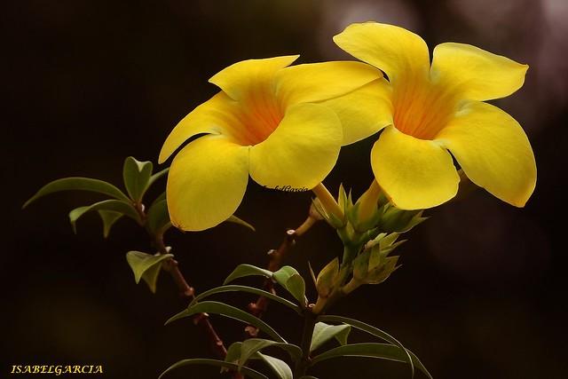 Campanilla amarilla