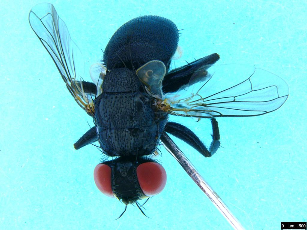 11b - Diptera sp.