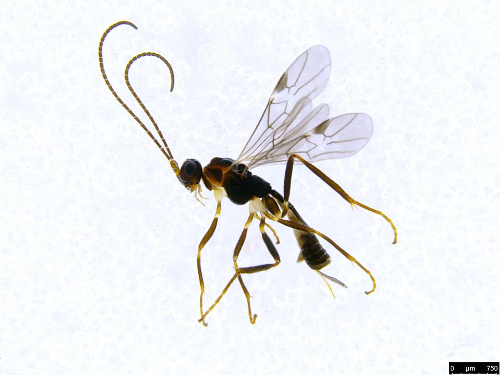 16a - Braconidae sp.