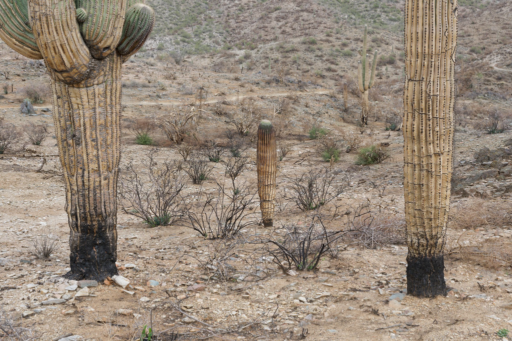 The saguaros, two old and one younger, show extensive damage from a fire on the Overton Trail in Cave Creek Regional Park in Cave Cree, Arizona. Taken on January 31, 2021. Original: _CAM9898.arw