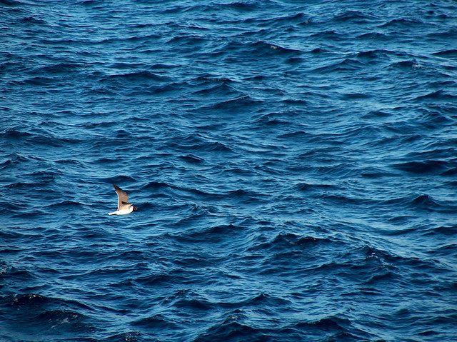 Seabird on the Sea