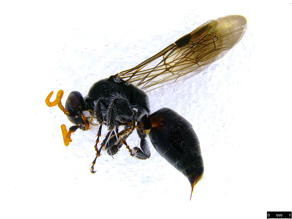 19a - Pompilidae sp.