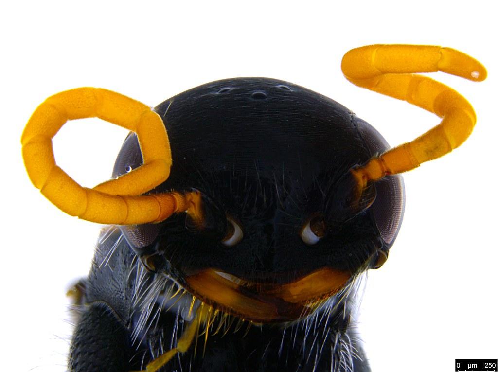 19c - Pompilidae sp.