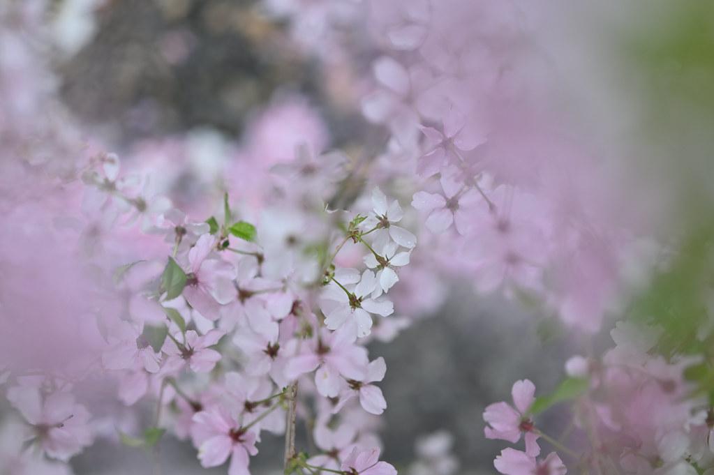 桜咲く雨の六角堂 10