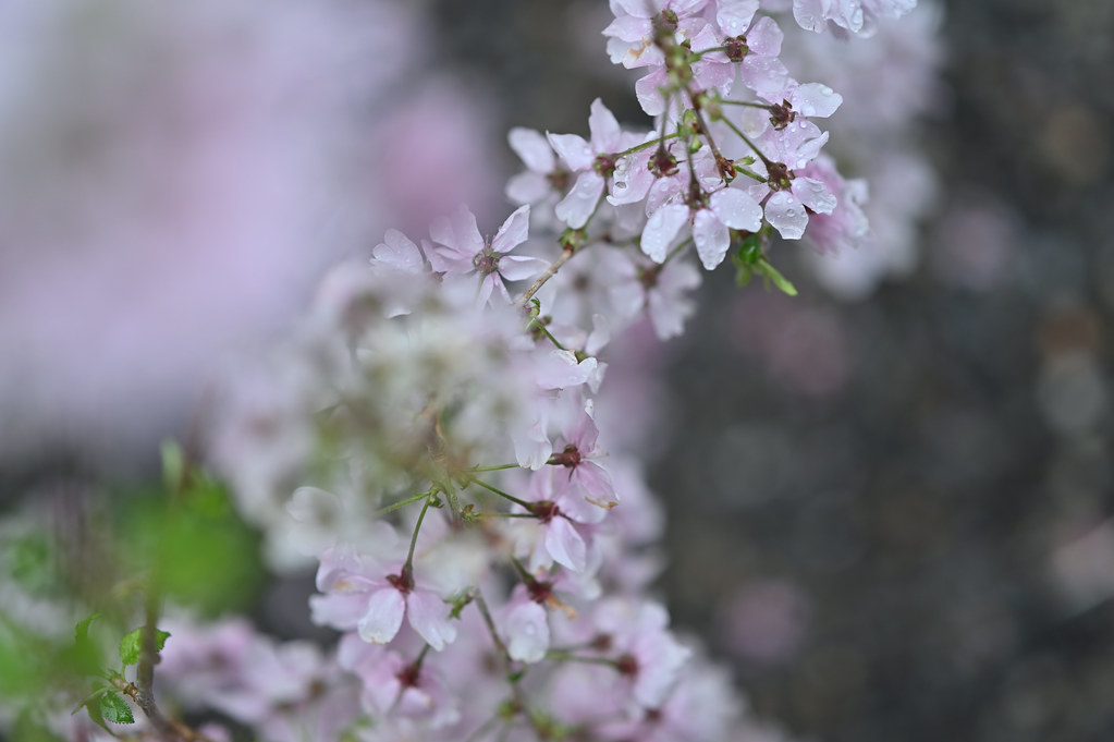 桜咲く雨の六角堂 6