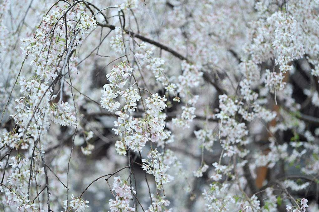 桜咲く雨の六角堂 3