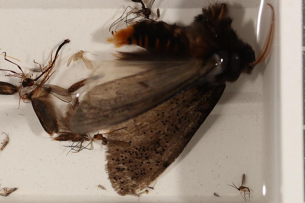 27a - Oenosandra boisduvalii Newman, 1856