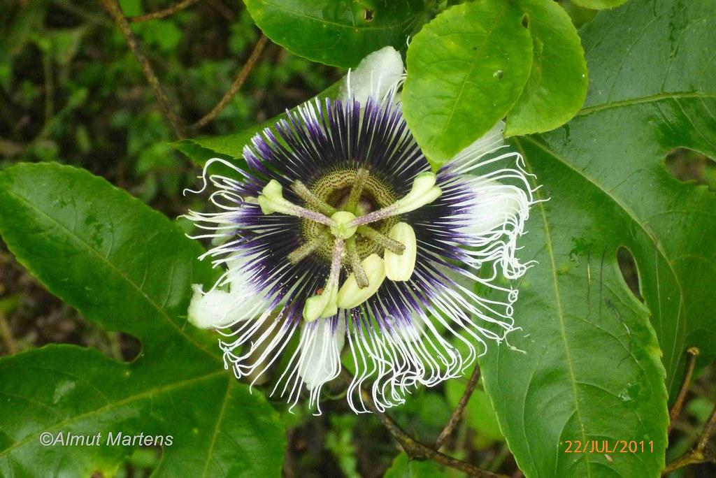 Passiflora edulis (1)