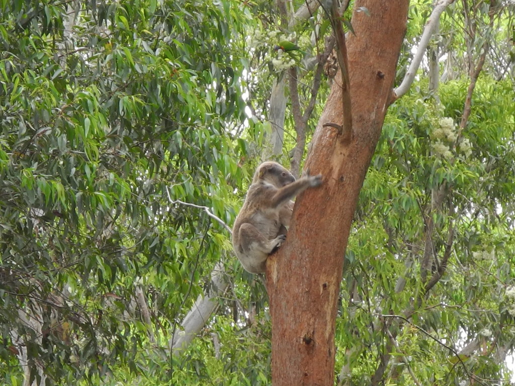 13 Koala Climbing
