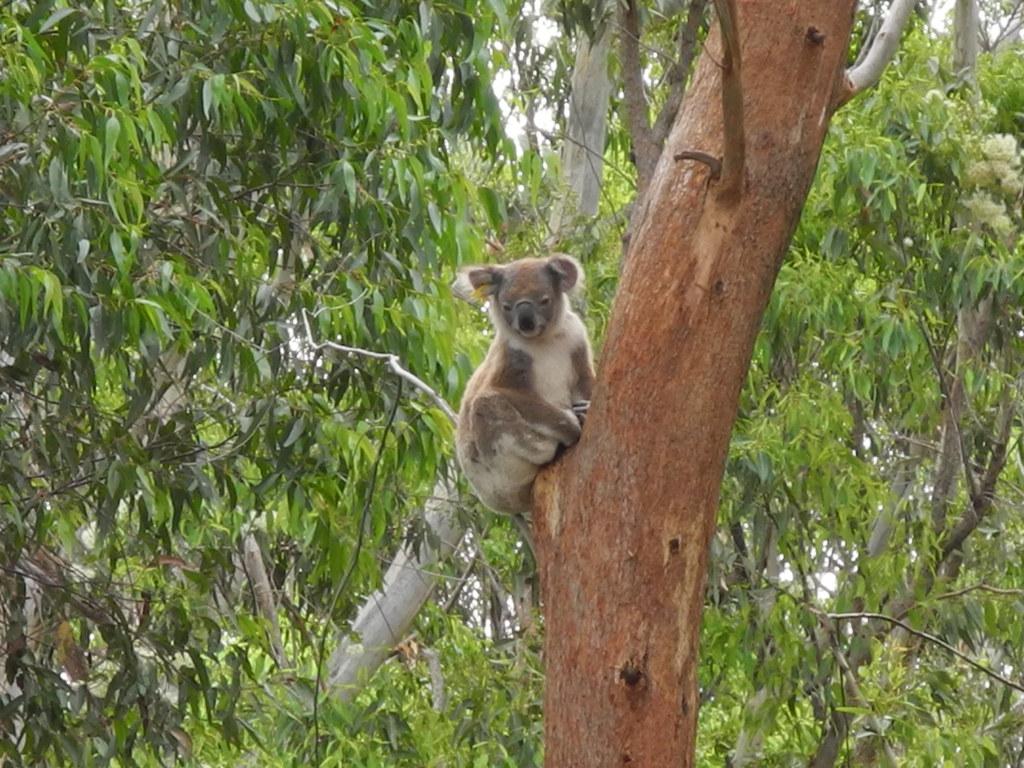 15 Koala in the Tree