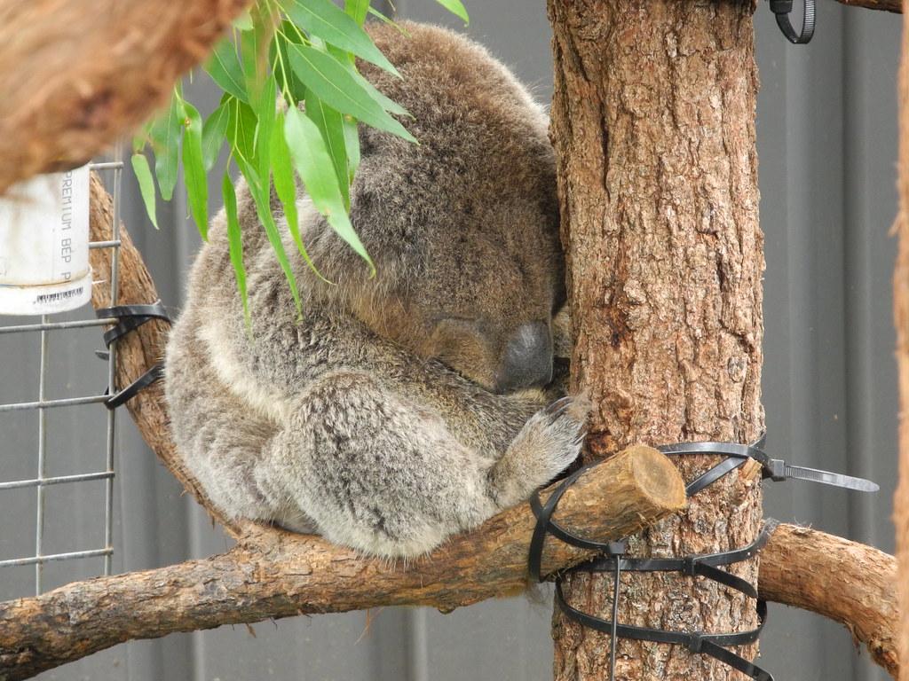 17 Koala Sleeping 02