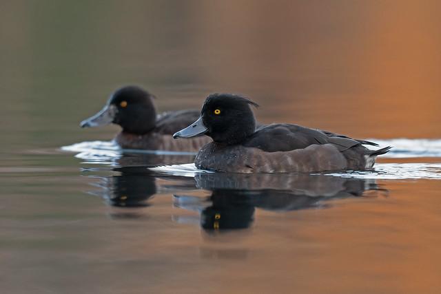 Reiherenten / Tufted ducks / Aythya fuligula