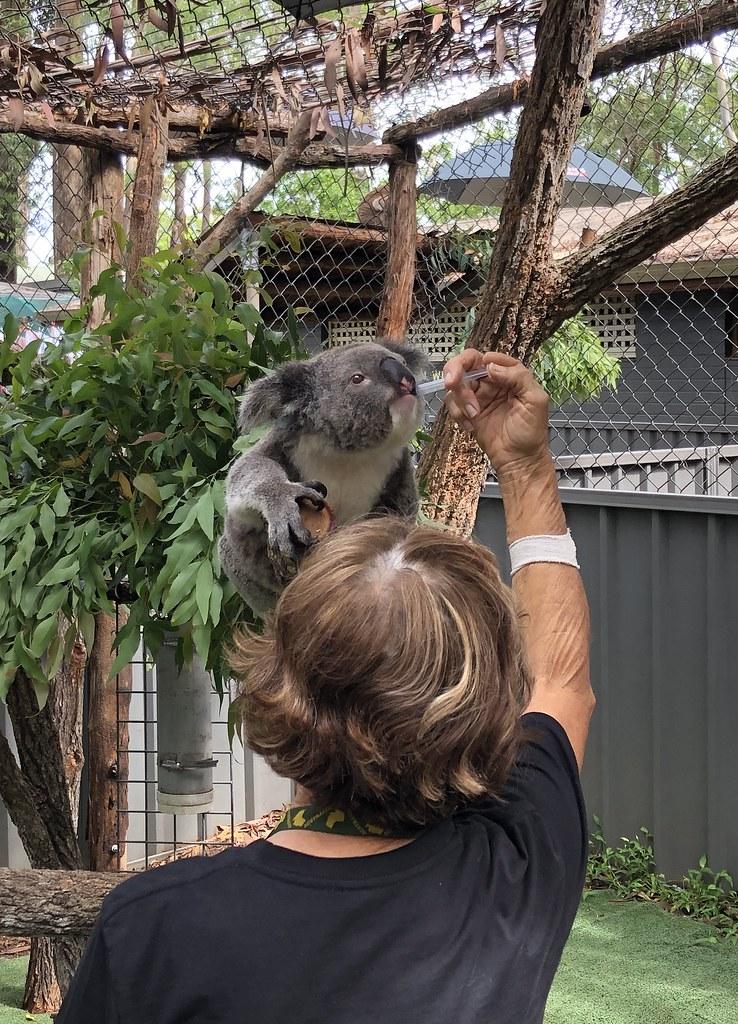 12 Koala Feedling 03
