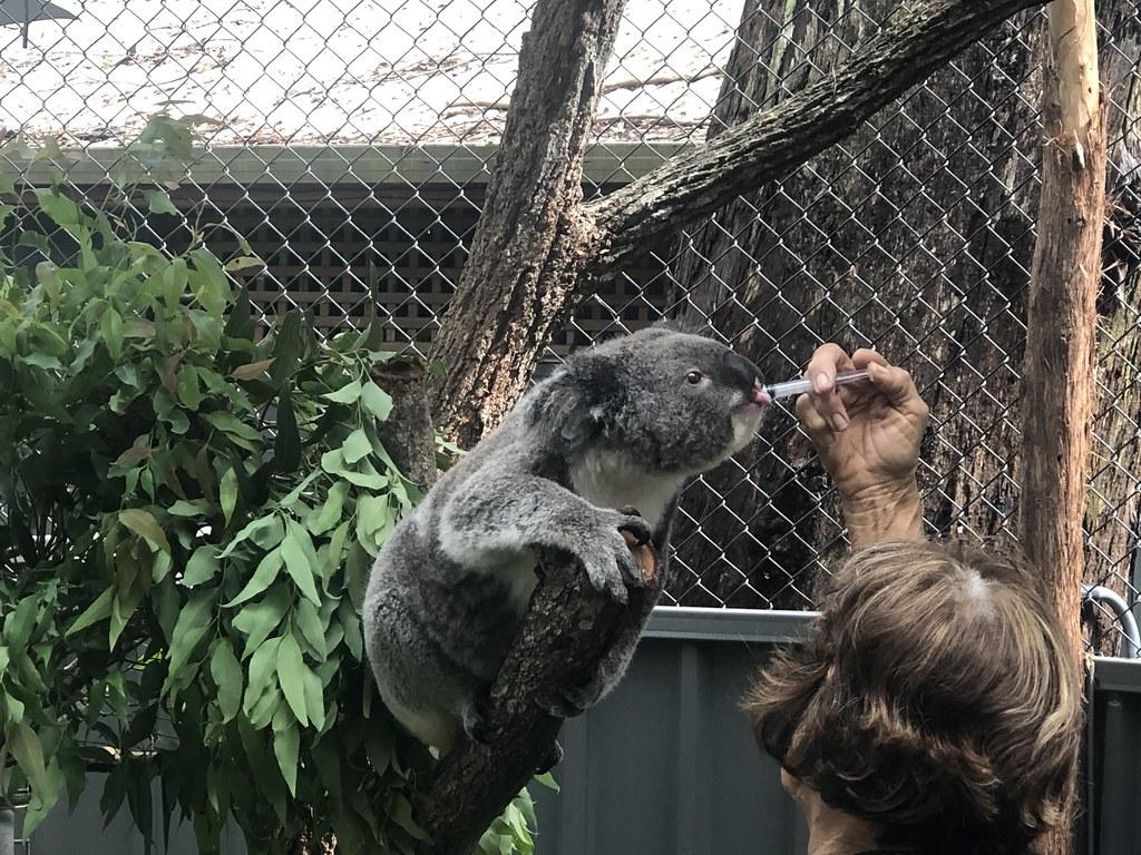 11 Koala Feeding 02
