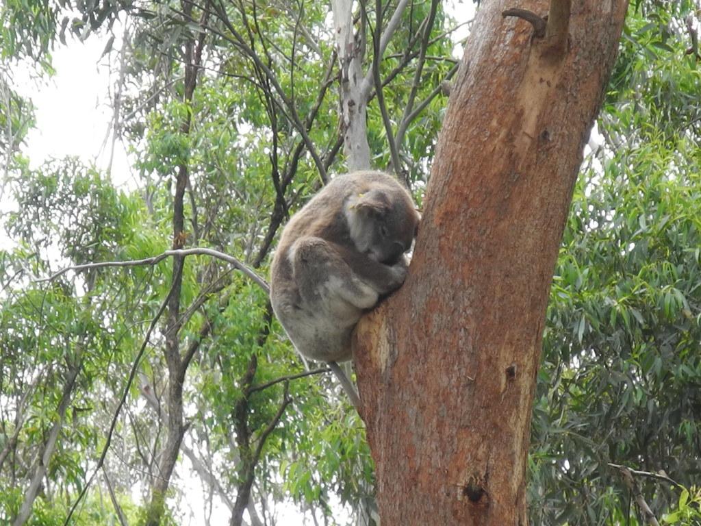 14 Koala at Rest