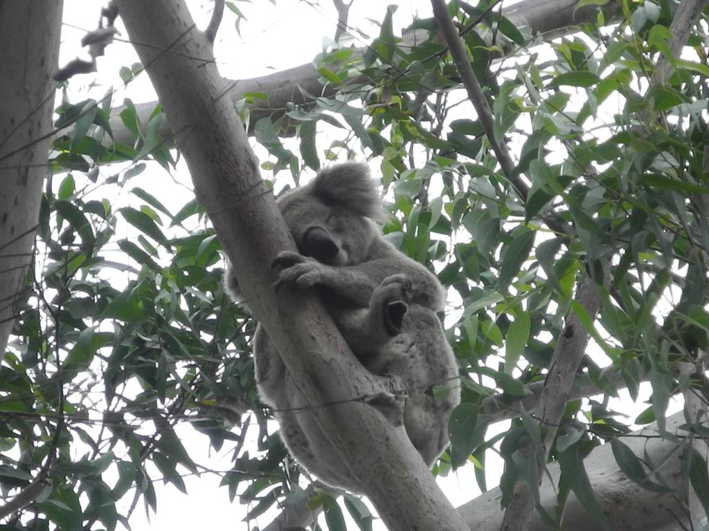 16 Koala Sleeping 01