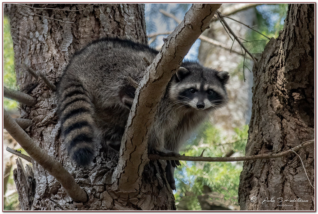 Racoon-in-Tree-Mar-2021-Fort-Rodd