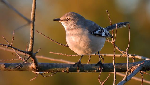 DSCN7568 Northern Mockingbird
