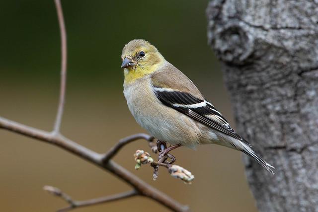 American Goldfinch DSC_6291