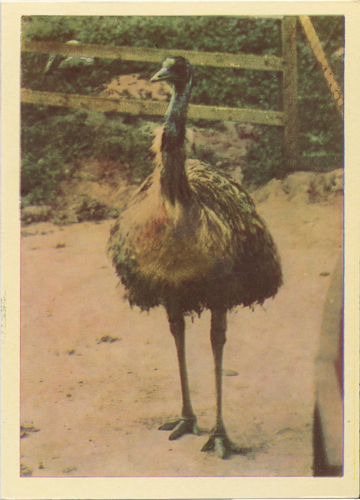 10) Страус Эму [Dromaius novae-hollandiae] Strutis Emu