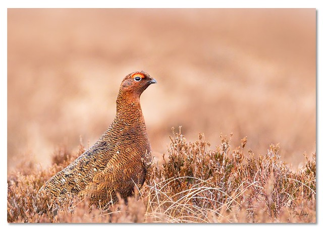 Male Red Grouse, Dublin Mountains.