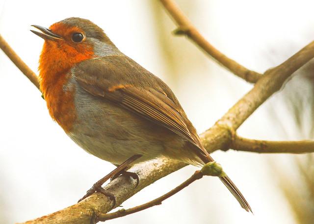 Robin in the Darent Riverbank