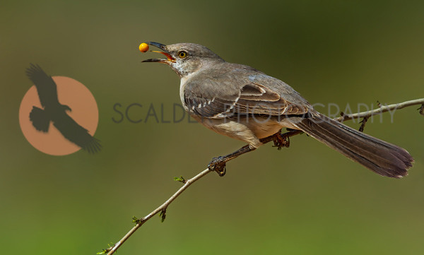 Northern-Mockingbird-with-Yellow-Berry