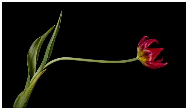 Flowers #21 2021; Old Tulip Reaching