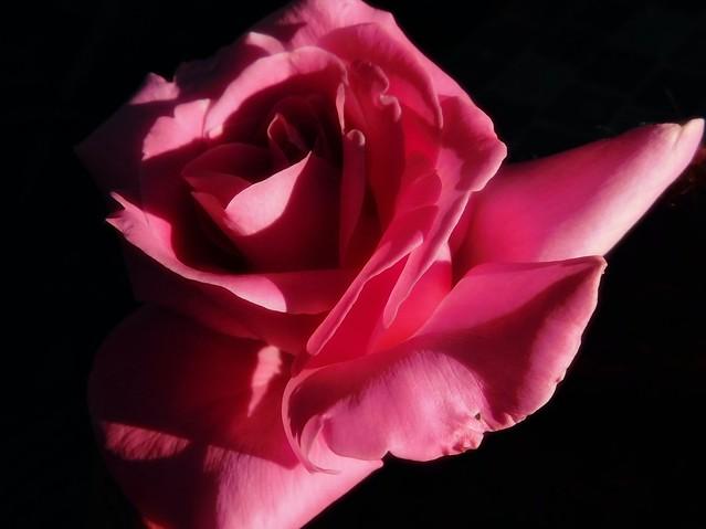 Always a Rose