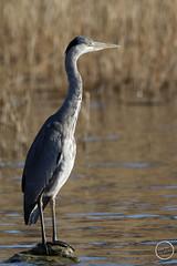 Héron cendré - Ardea cinerea - Grey Heron : IMG_1025_©_Michel_NOEL_2021_au_Lac_de_Creteil
