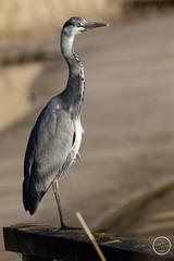 Héron cendré - Ardea cinerea - Grey Heron : IMG_0976_©_Michel_NOEL_2021_au_Lac_de_Creteil