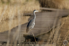Héron cendré - Ardea cinerea - Grey Heron : IMG_0972_©_Michel_NOEL_2021_au_Lac_de_Creteil