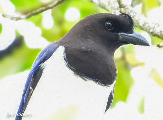 Gralha-do-campo-Cyanocorax cristatellus-Curl-crested Jay
