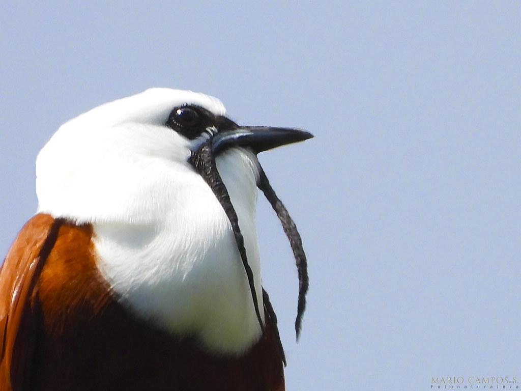 Procnias tricaurunculatus. Three-wattled Bellbird Campanero Tricarunculado Pájaro Campana. Rin-Ran.