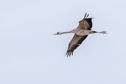 Common crane - Grus grus - Kraanvogel