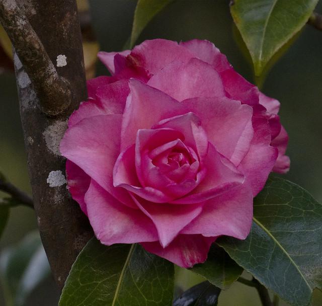 Camellia Joe Nuccio