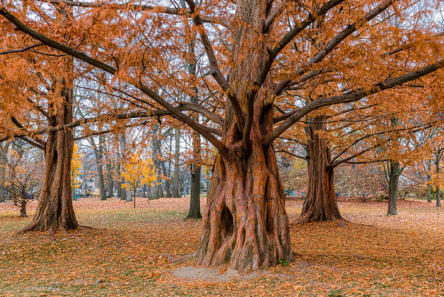 Red dogwoods of Kew Gardens