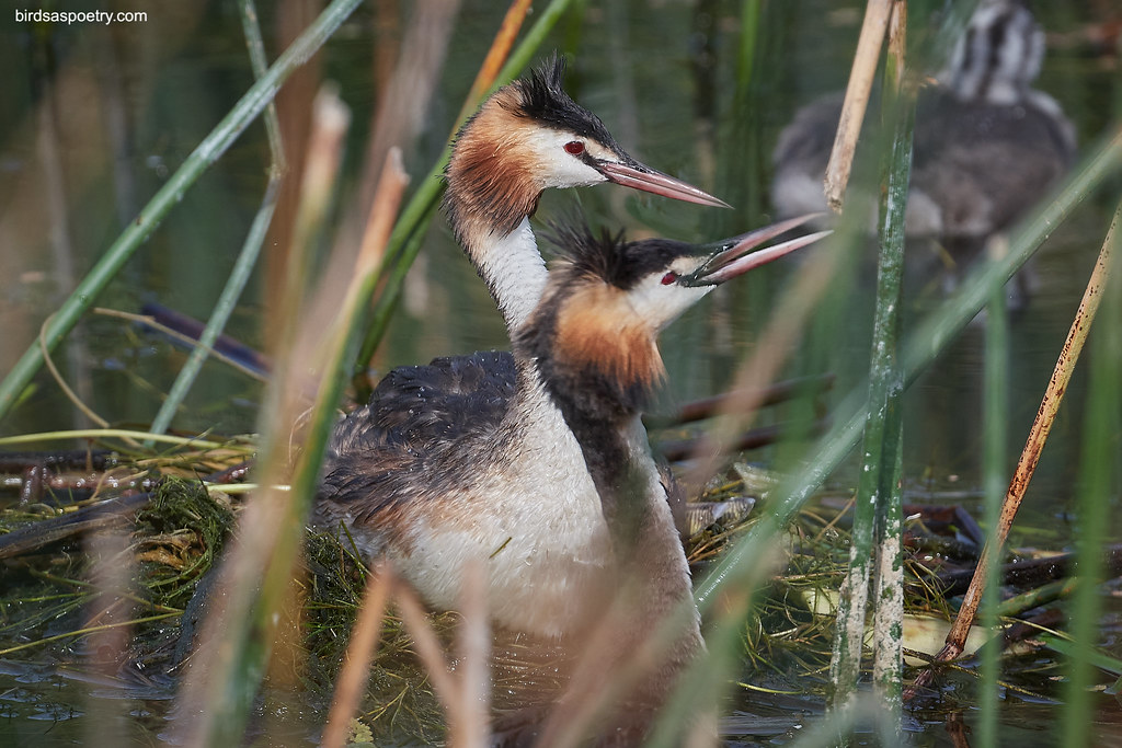 Great Crested Grebe: Songs of Love
