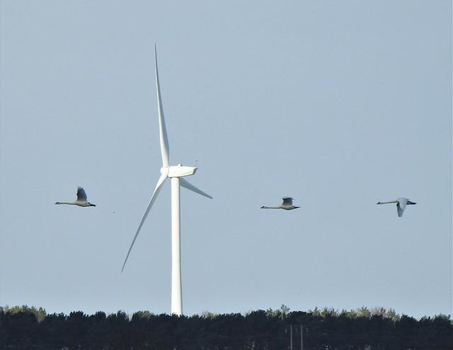 Three Swans In Flight Past Wind Turbine