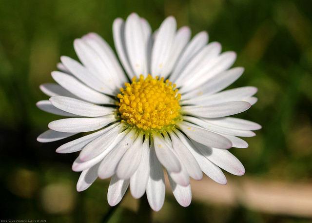 Common daisy / Madeliefje