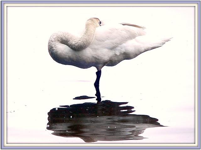 Nature's Art Gallery- Swan on Pedestal