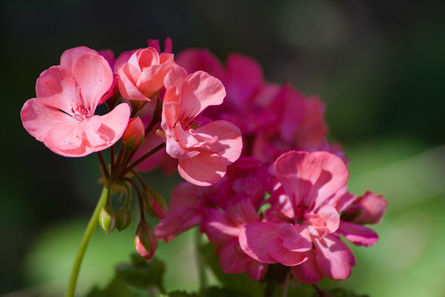 pretty in pink flowers - geranium