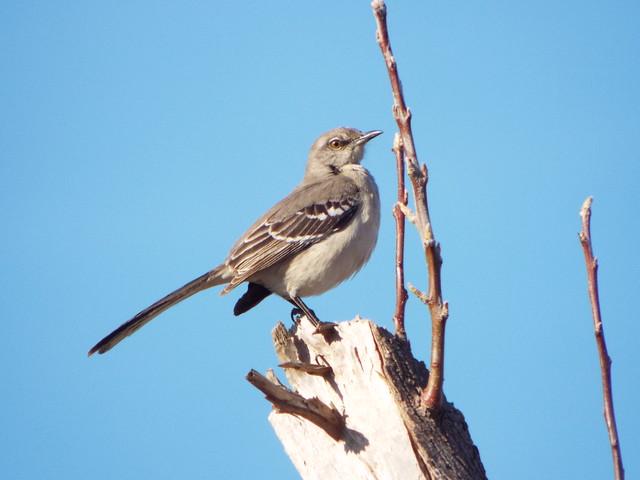 Northern Mockingbird, Glendover Park Neighborhood, Allen, Texas, March 6, 2021