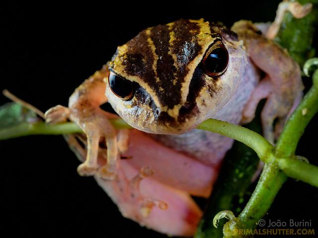Craugastoridae, Pristimantis
