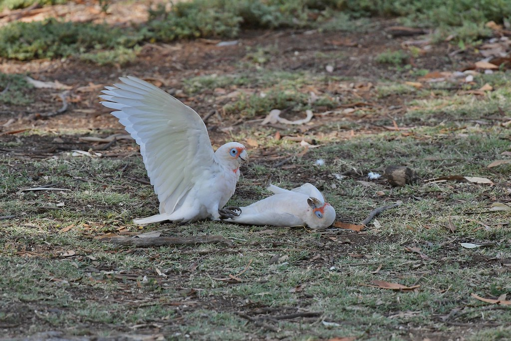 Long-billed Corellas ( at play time )