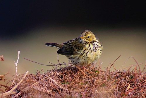 Pipit farlouse | by Zygonyx