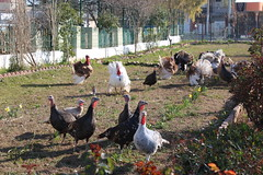 Turkeys (their product become an economical support to the healing garden)