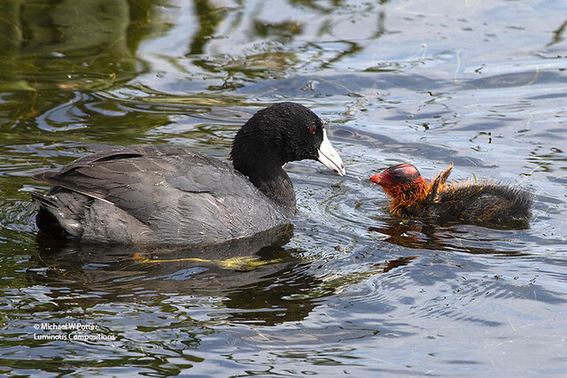 American Coot feeding young
