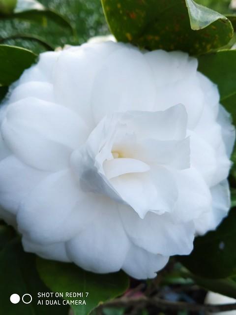 Η άσπρη μου καμέλια!!