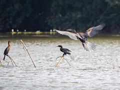 A darter in flight in the Keralan backwaters